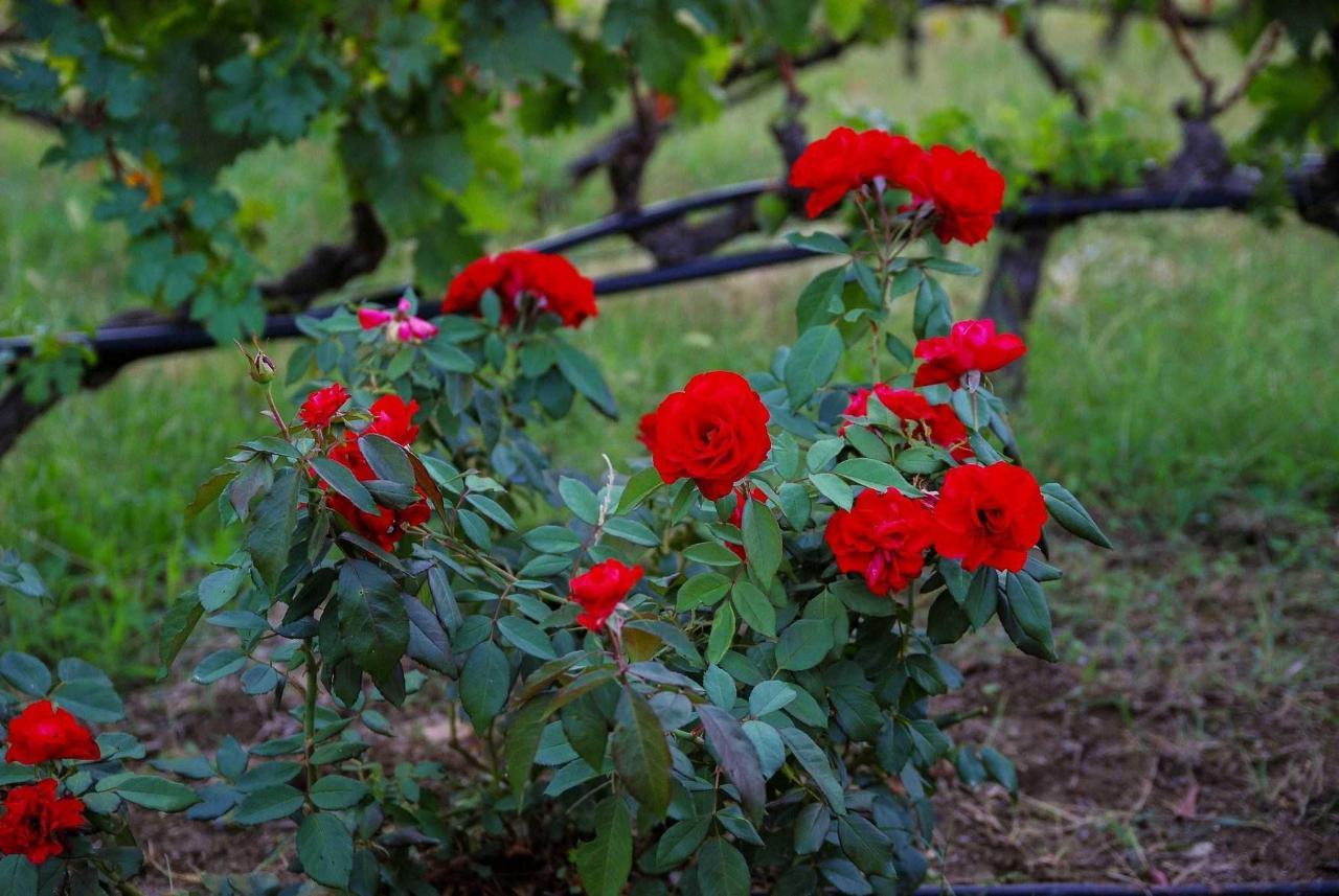 Roses Vineyard