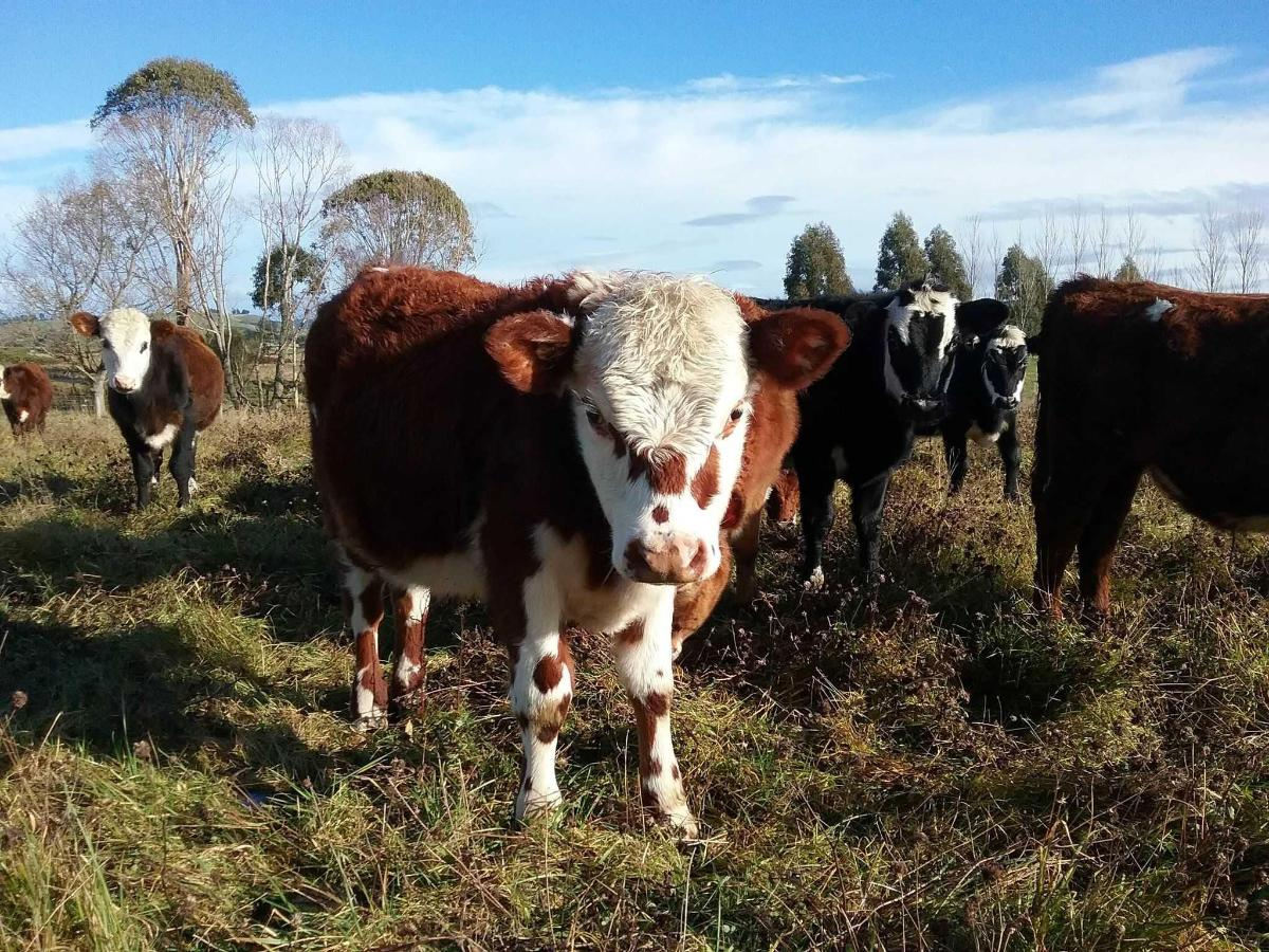 Friendly beef cattle at Happy Valley B&B.jpg