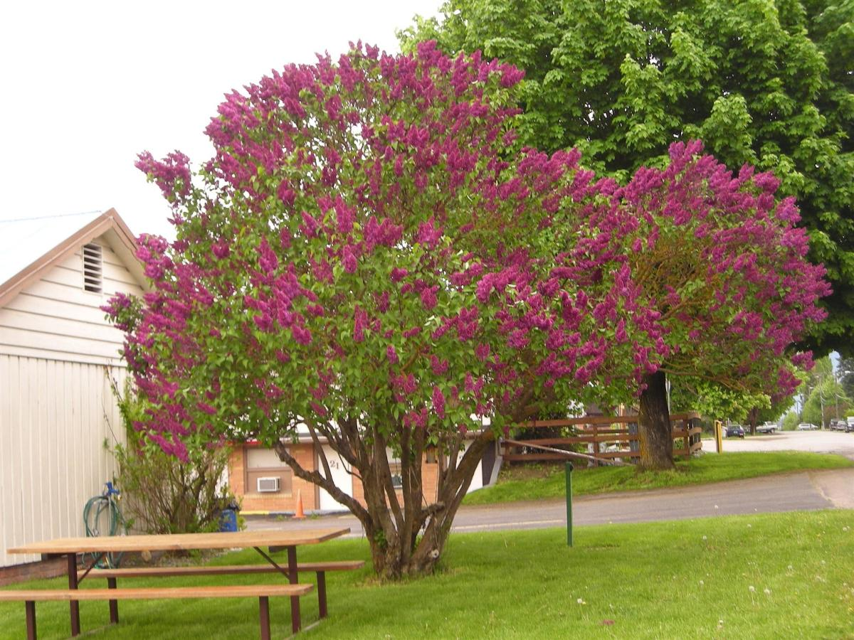 Lilac blooming at guest Picnic Table.jpg