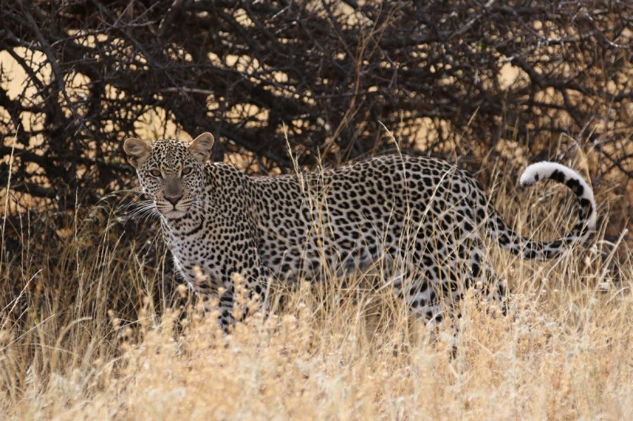 Camouflaged Leopard in Samburu.jpg