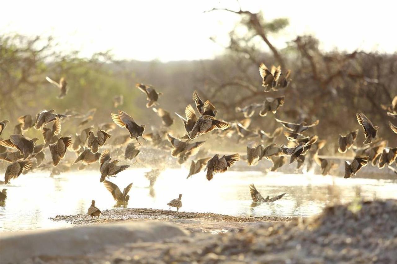Sand grouse spectacular.jpg