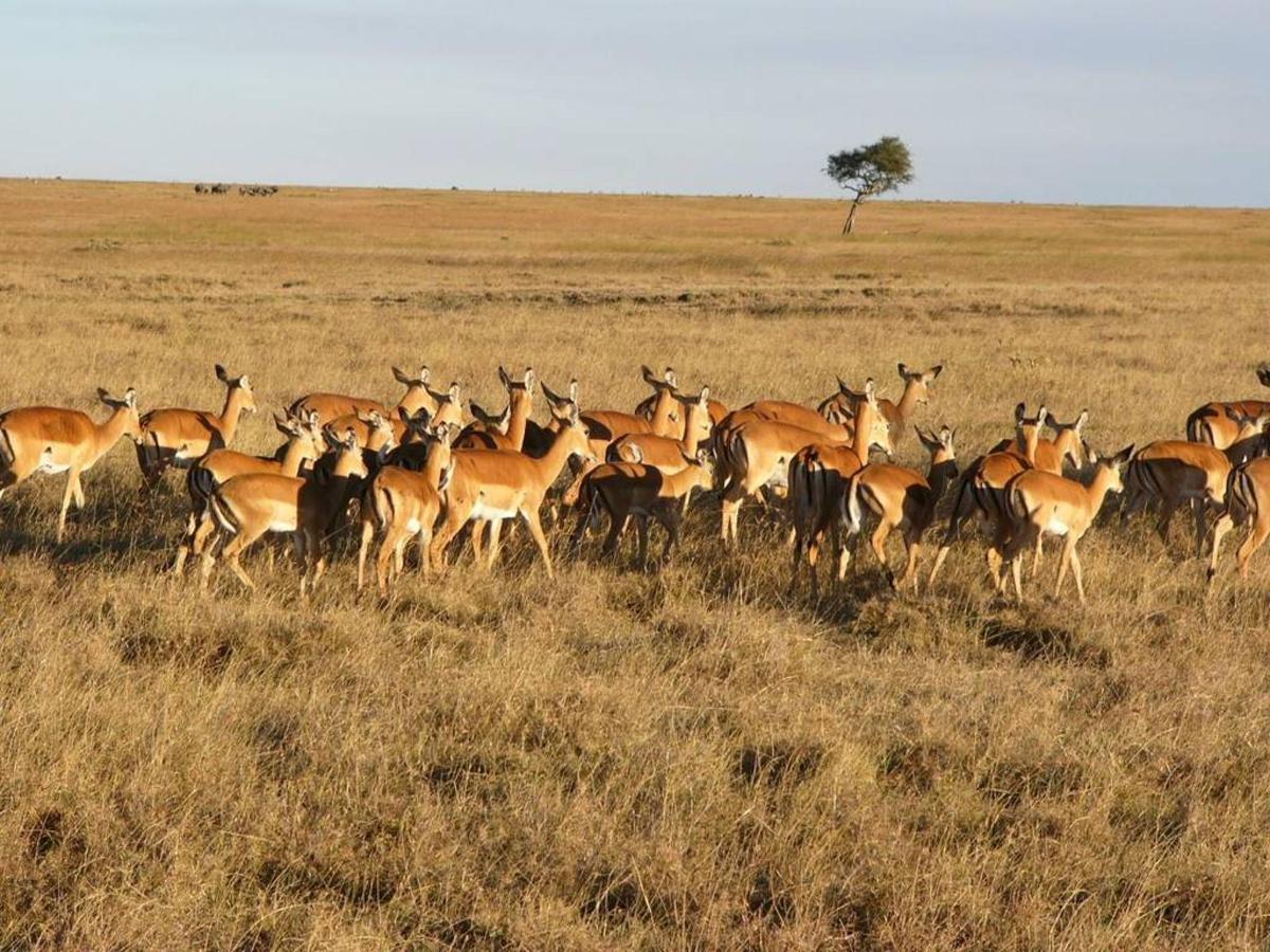 Impala grazing.jpg
