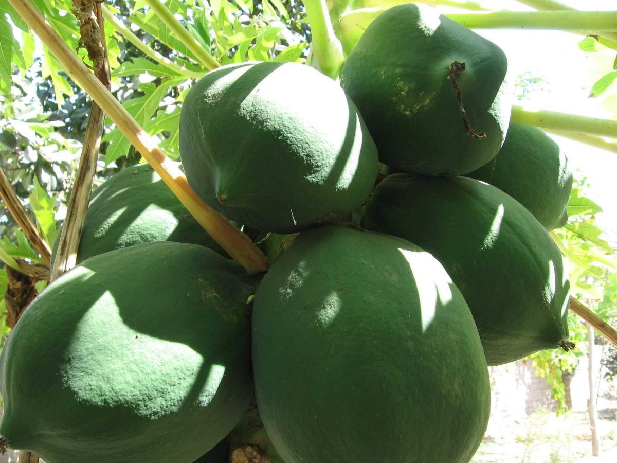 papaya tree.JPG