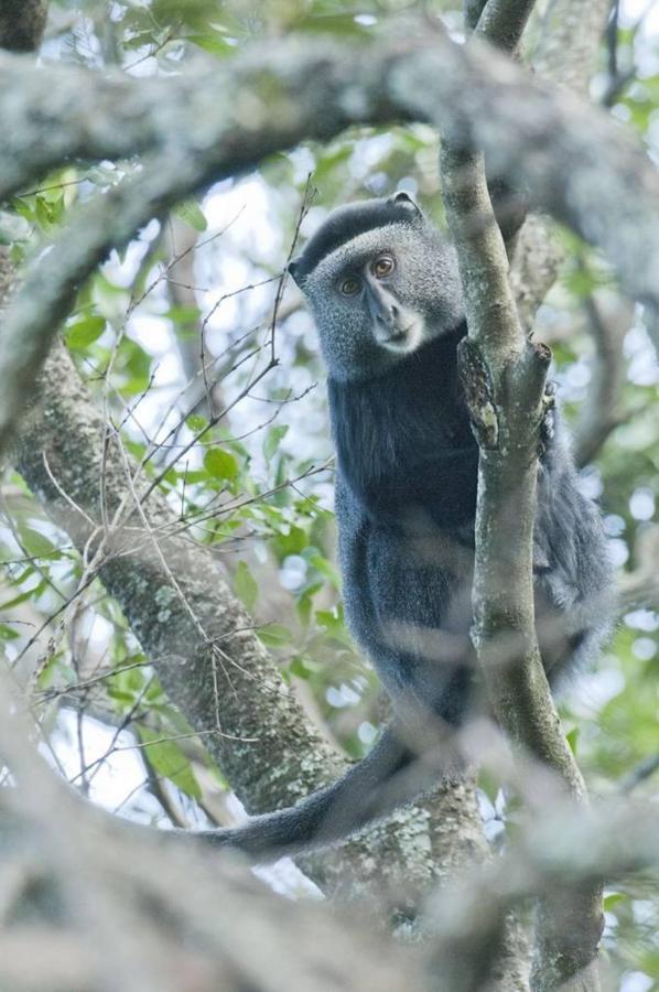 Sykes monkey.jpg