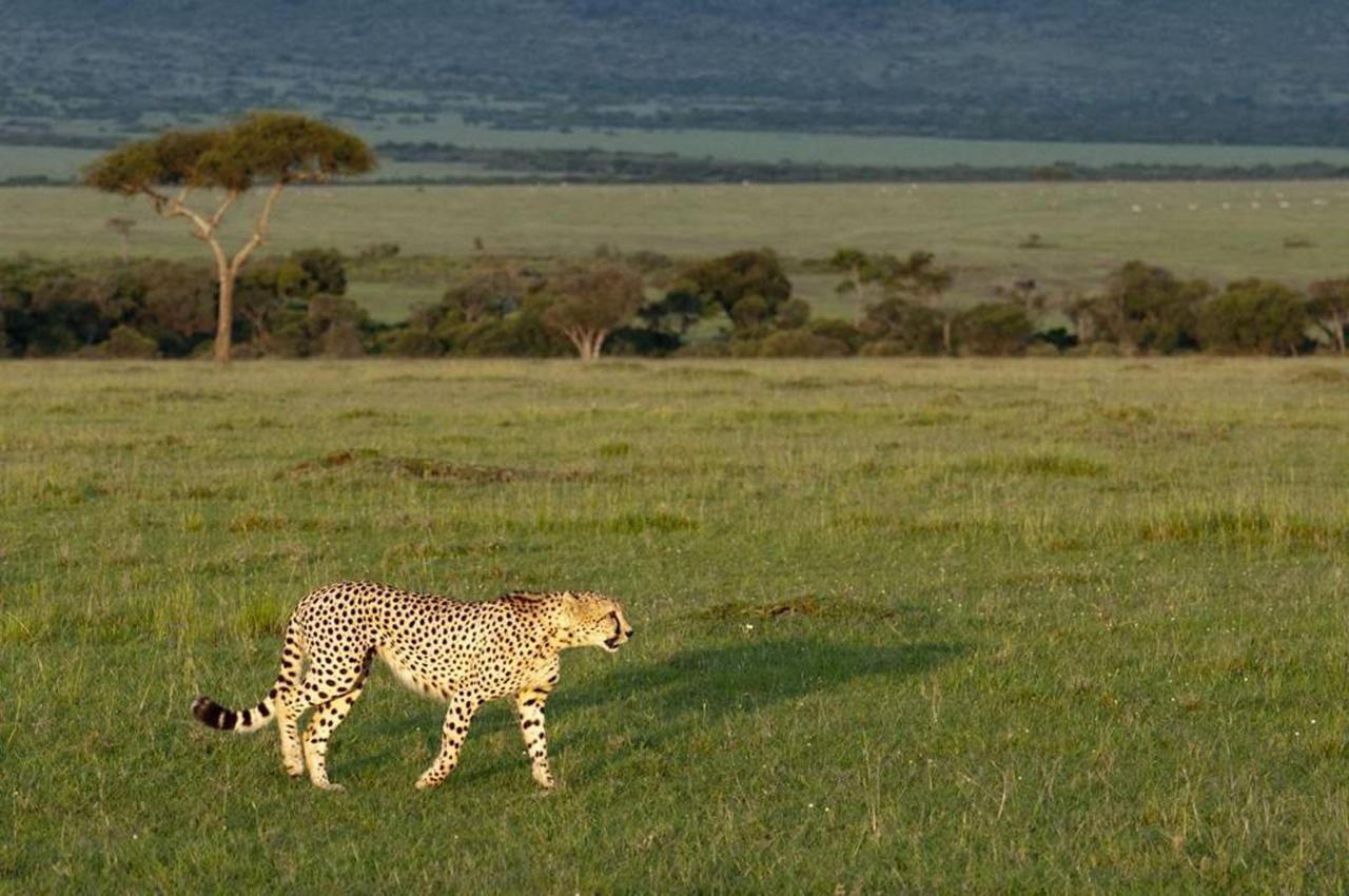 Cheetah and Mara landscape.jpg