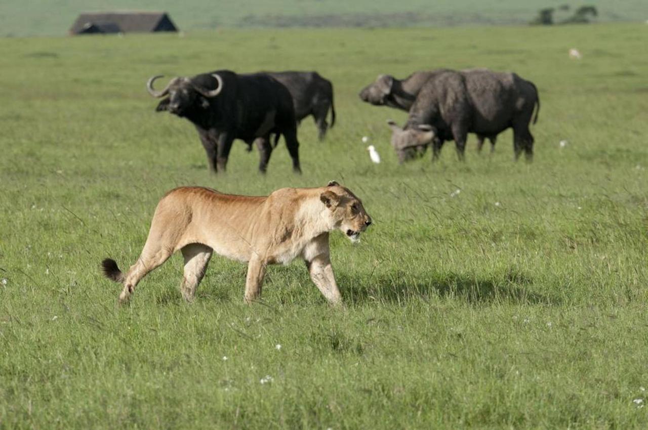 Lion and buffalo.jpg