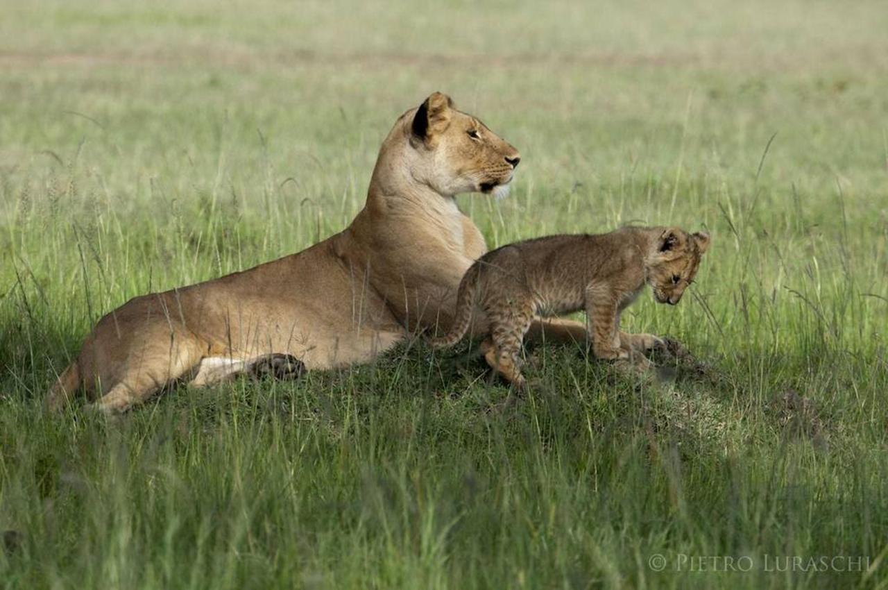 Lion and cub.jpg