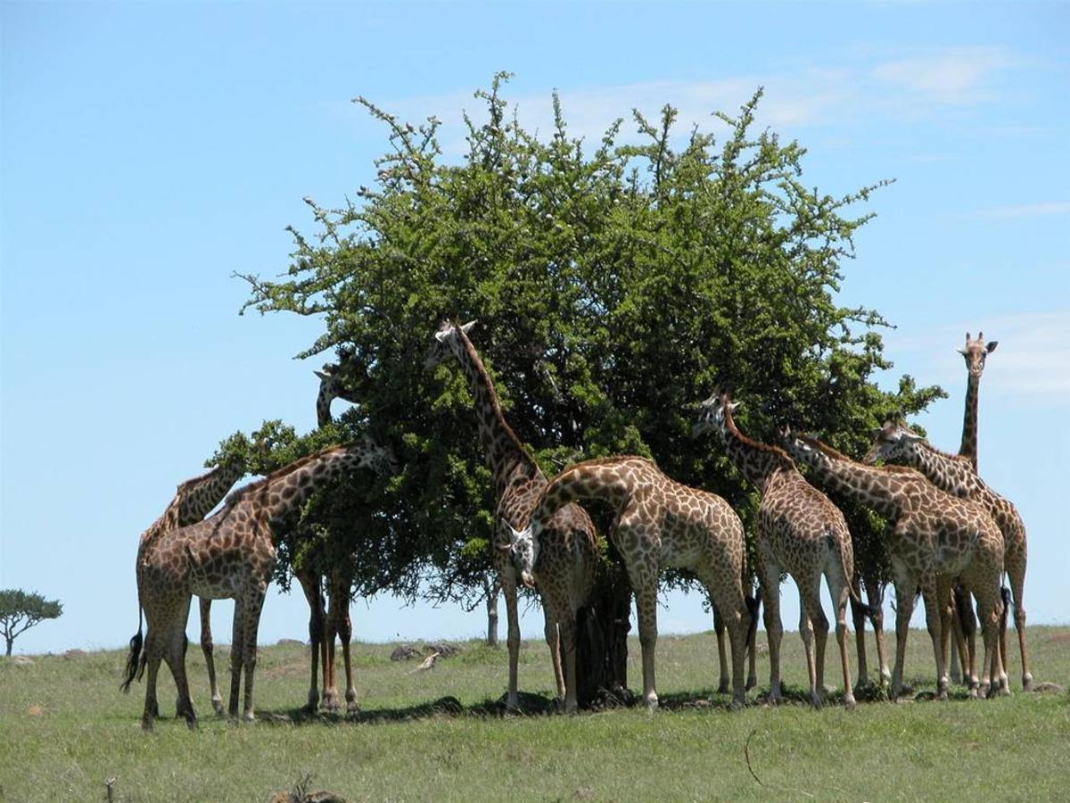 Maasai twigas.jpg