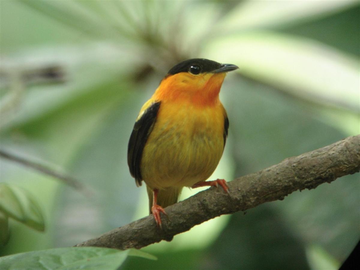 pájaro-naranja-collar-manakin-manacus-aurantiacus.JPG.1024x0.JPG