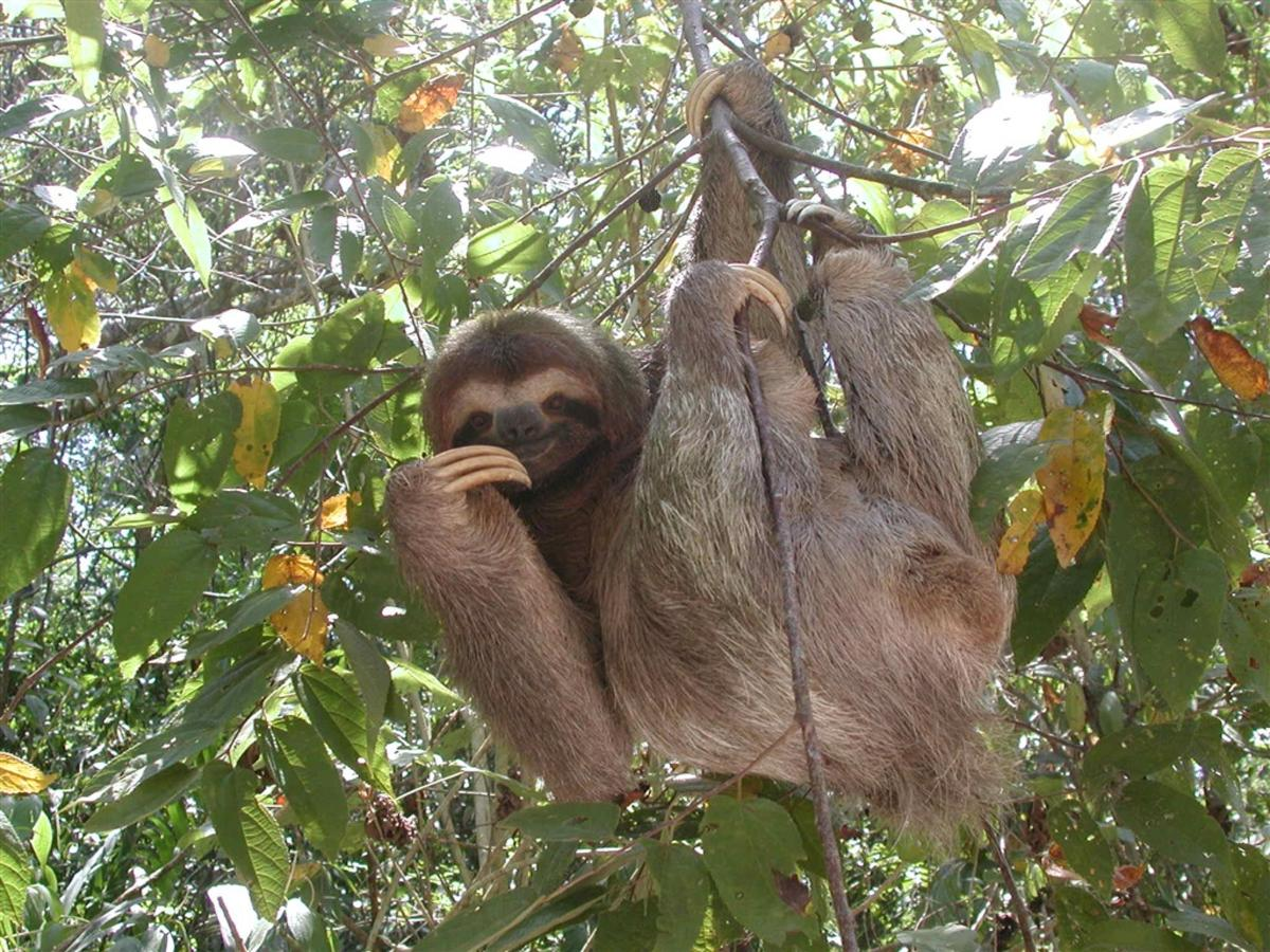three-toed-sloth-300-dpi.jpg.1024x0.jpg