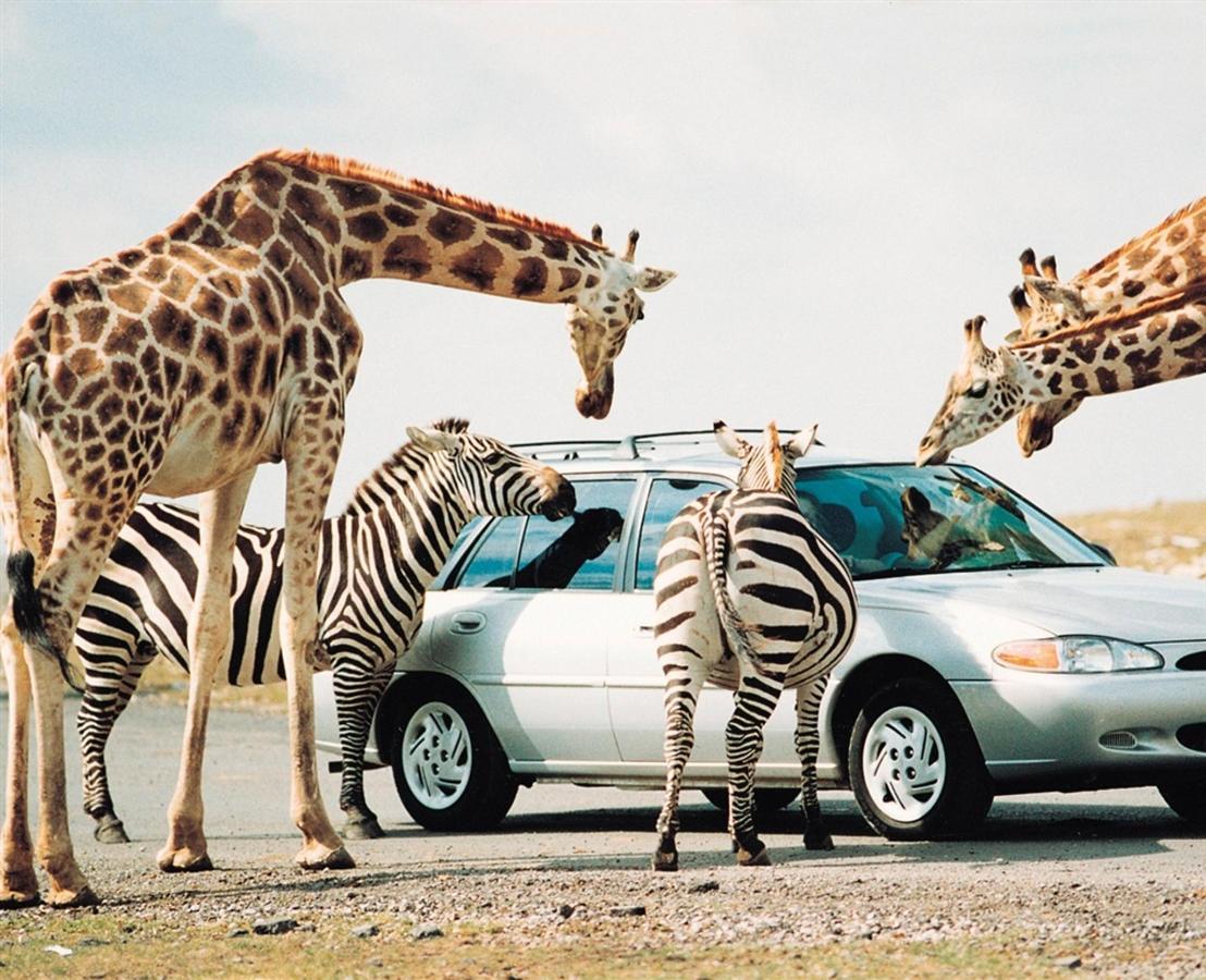 giraffecar.jpg.1024x0.jpg