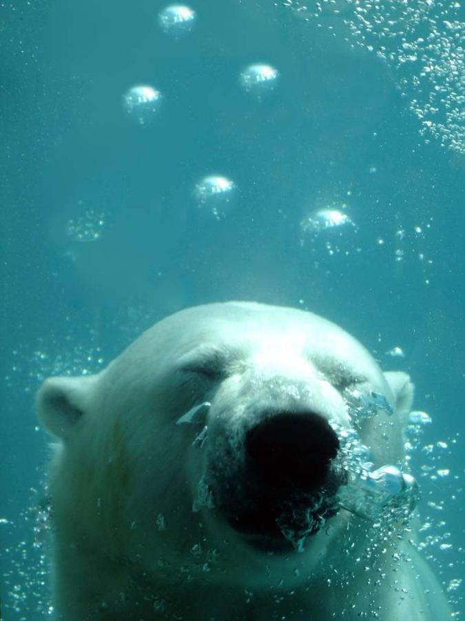 The polar bear at St-Felicien wild zoo.jpg