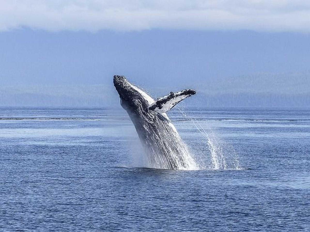 humpback-whale-436120_640.jpg.1920x0.jpg