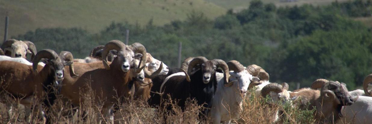 Big Horn Sheep Hunts