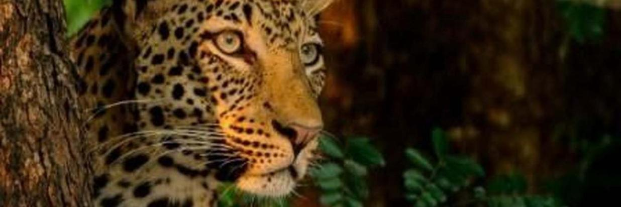 The Lordly Leopard
