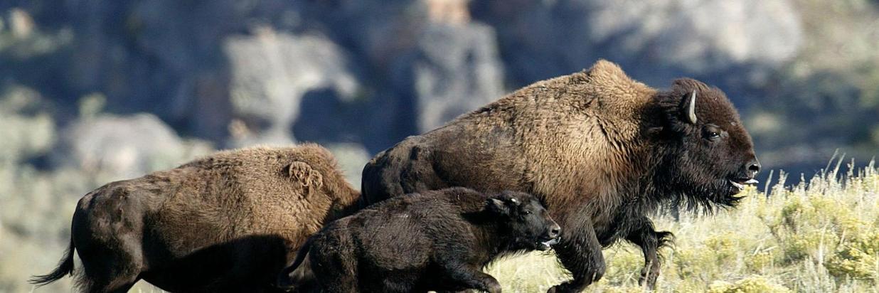 Yellowstone Wildlife Viewing