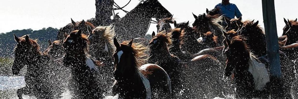 91st Annual Chincoteague Pony Swim