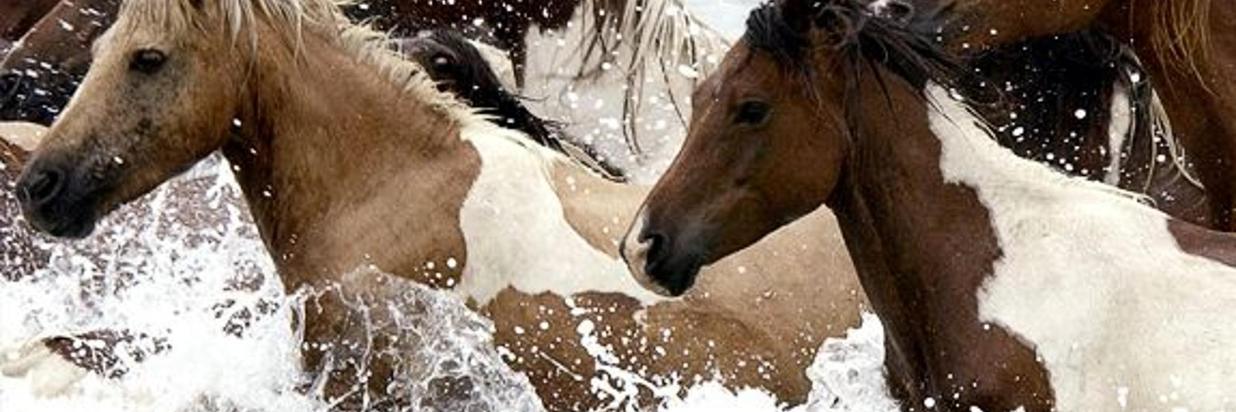 Watch the wild Chincoteague Pony Swim