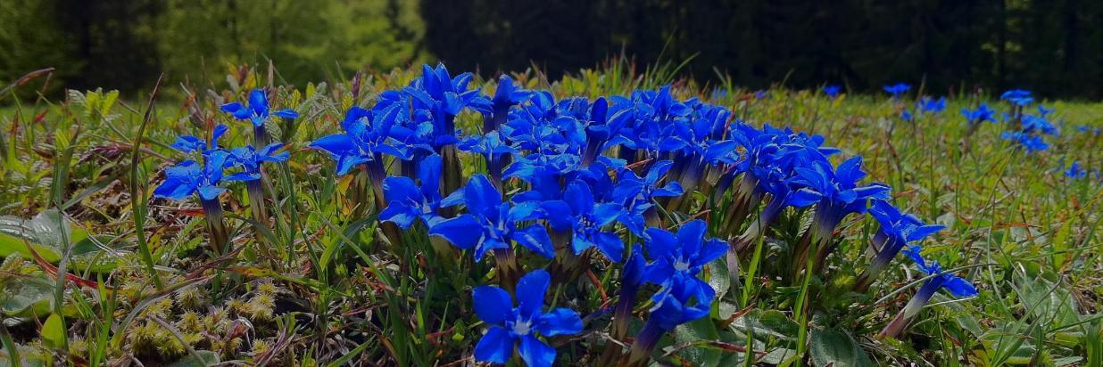 Синие цветы Enzian.JPG