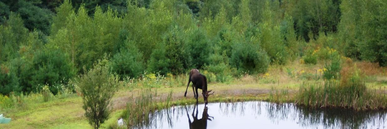 2012-08-16 young moose by pond at Coppertoppe 02.JPG