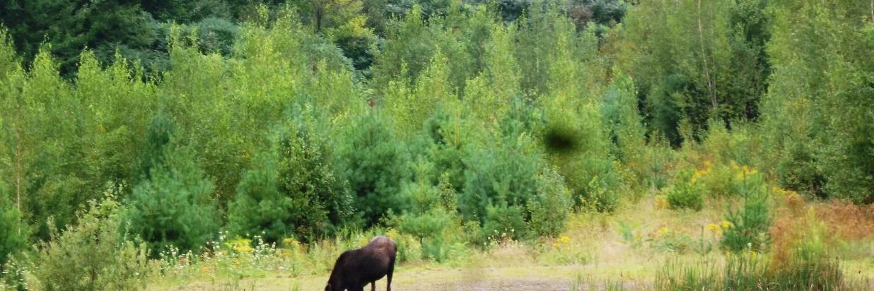 2012-08-16 young moose by pond at Coppertoppe 04.JPG