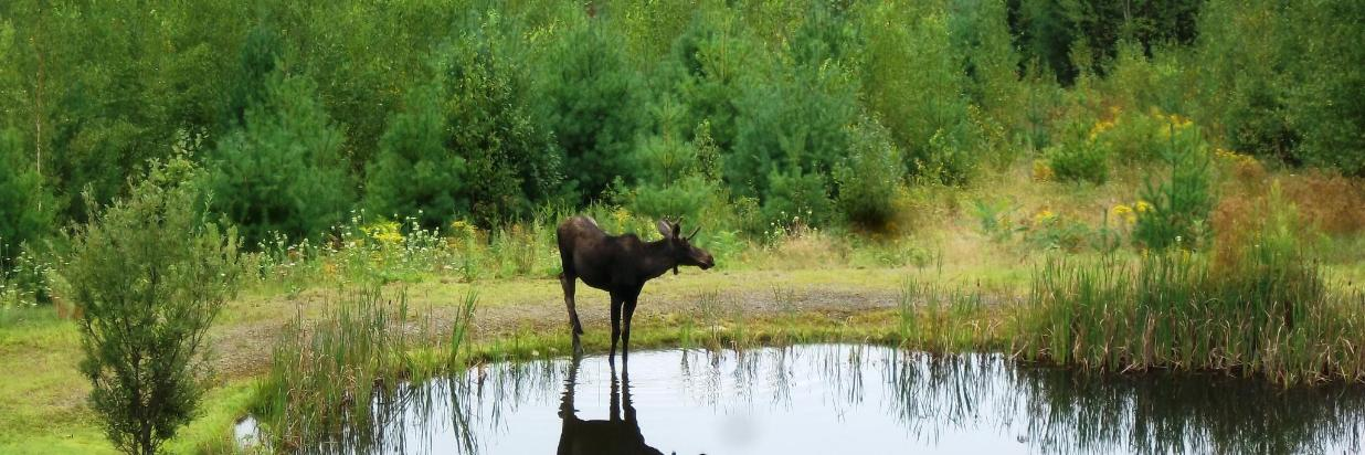 2012-08-16 young moose by pond at Coppertoppe 03.JPG
