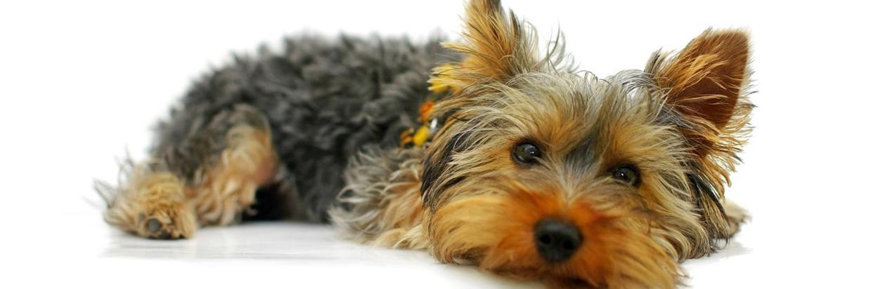 yorkshire-terrier-790362_1280.jpg