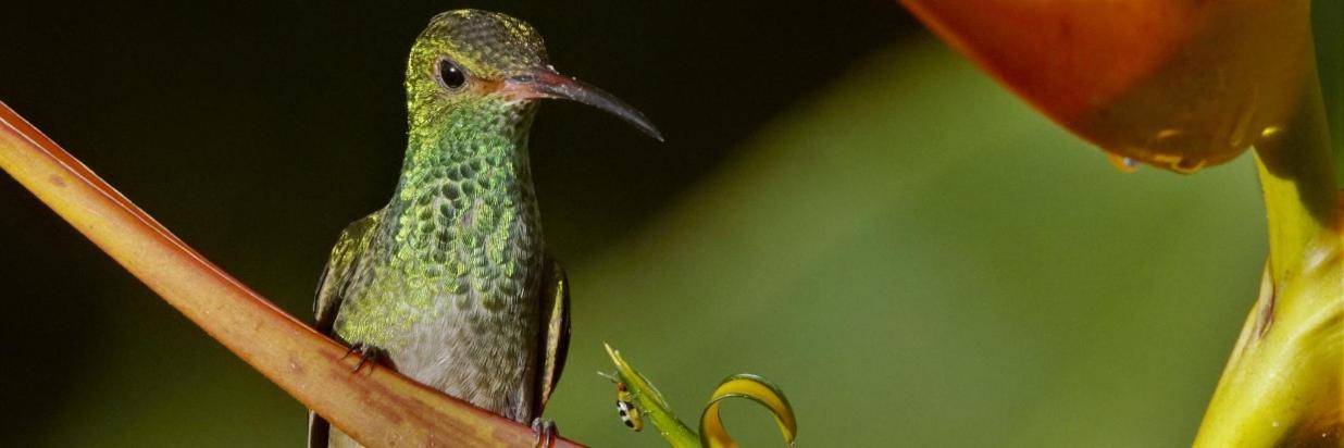 rufoustailedhummingbird.jpg