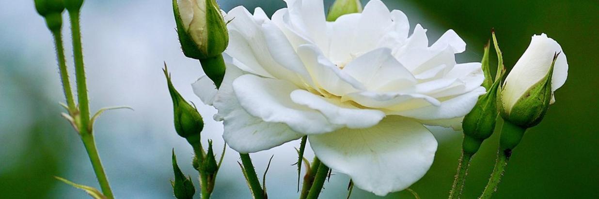 roses-2604125_960_720.jpg