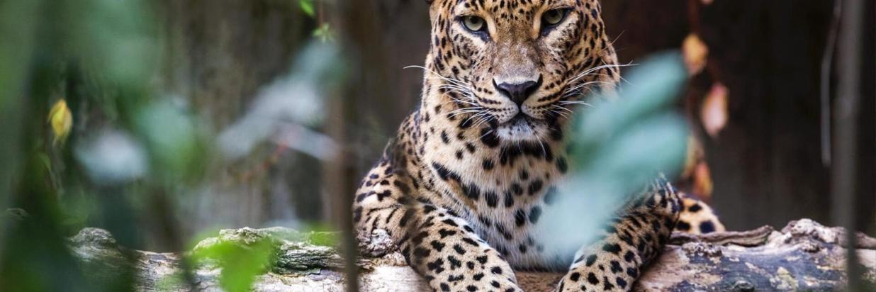 8_8-02480220180703_1_sri-lanka-leopard-asian-1600x900.jpg
