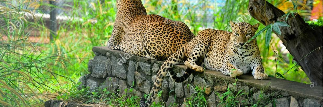 sri-lankan-endemic-leopard-at-pinnawala-open-air-zoo-in-sri-lanka-FGGD8K.jpg