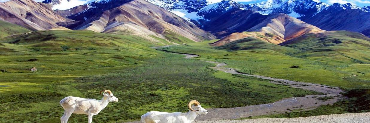 alaska-denali-national-park sheep1.jpg