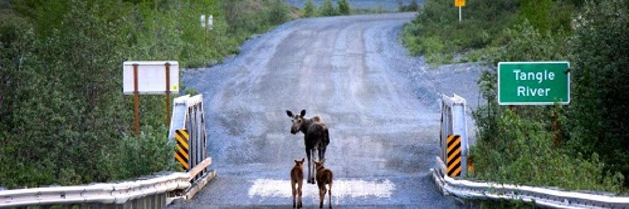 Denali Highway mama moose-Flickr-Bureau-of-Land-Management500x375.jpg