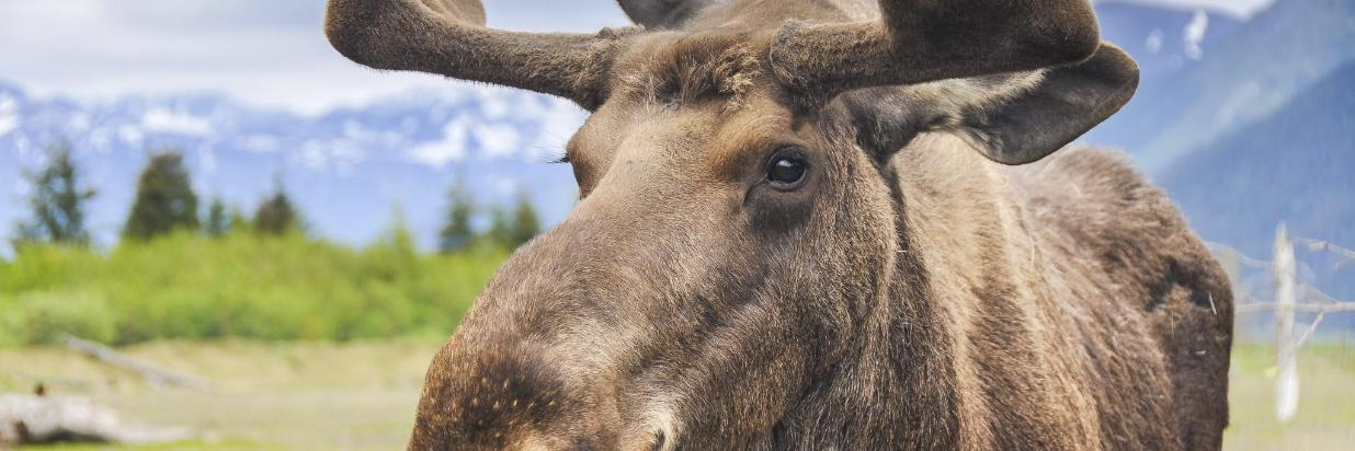 moose -By Noradoa-2AdobeStock_75064890.jpeg