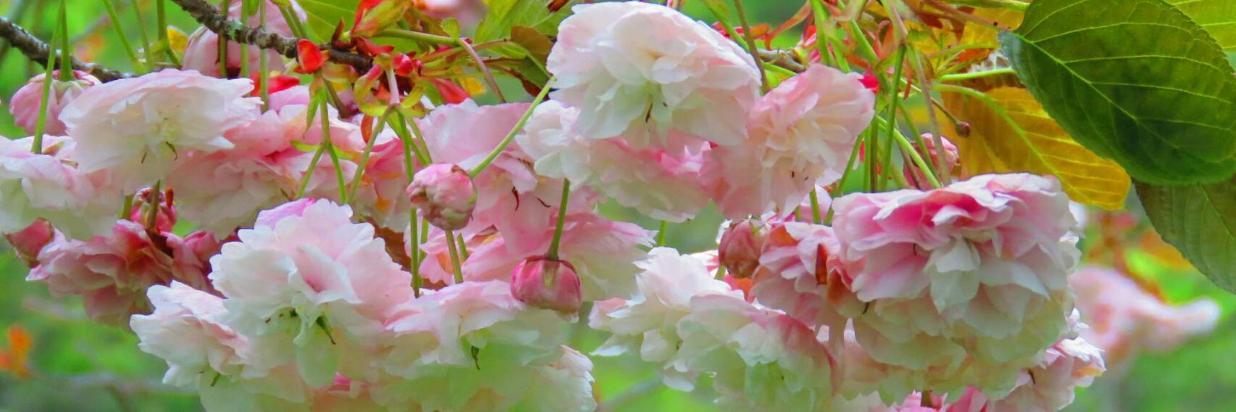 阿里山櫻花 Alishan Cherry Flowers