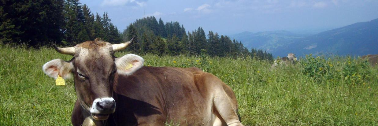 Allgäuer Kuh.JPG