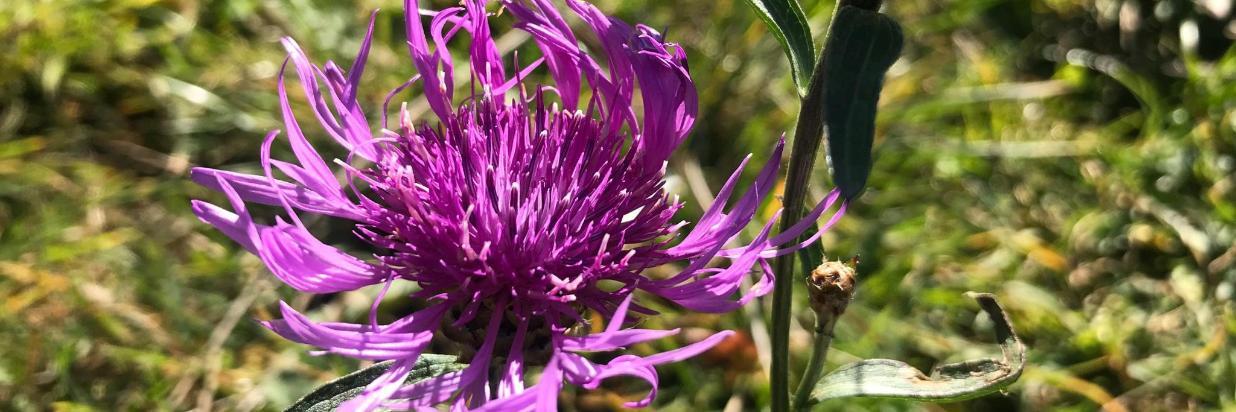 lila Wiesenblumen Frühling.jpg
