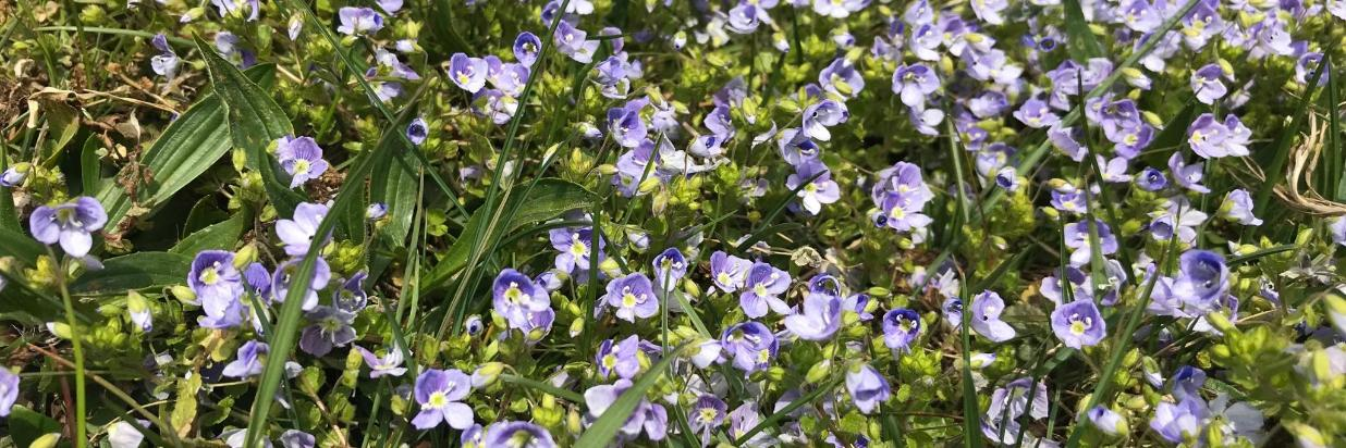 blaue kleine Frühlingsblumen.jpg
