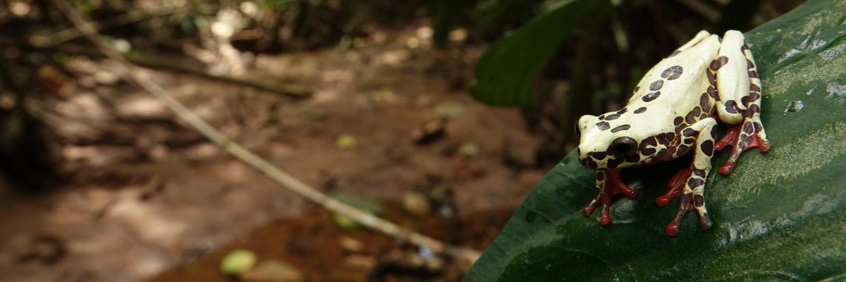 Dendropsophus_reticulatus2-min.JPG