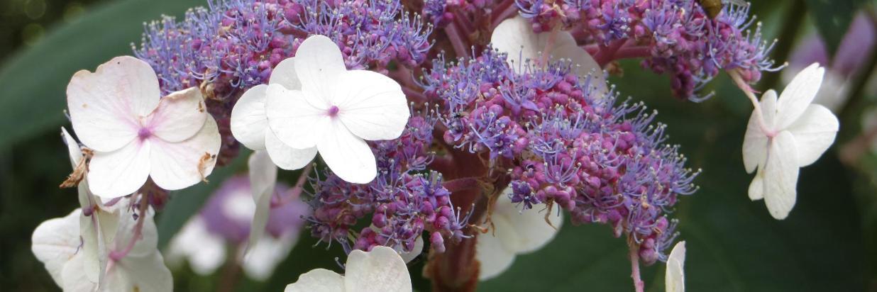 Lilaweiße Blume Detail GB.JPG