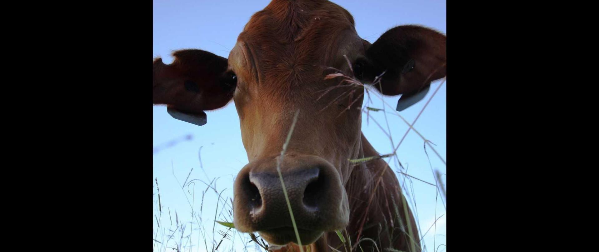 curious_cow-1.jpg