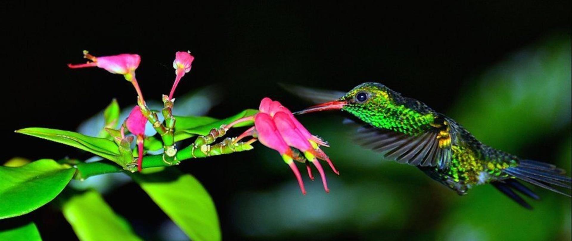 Colibri Amazylia