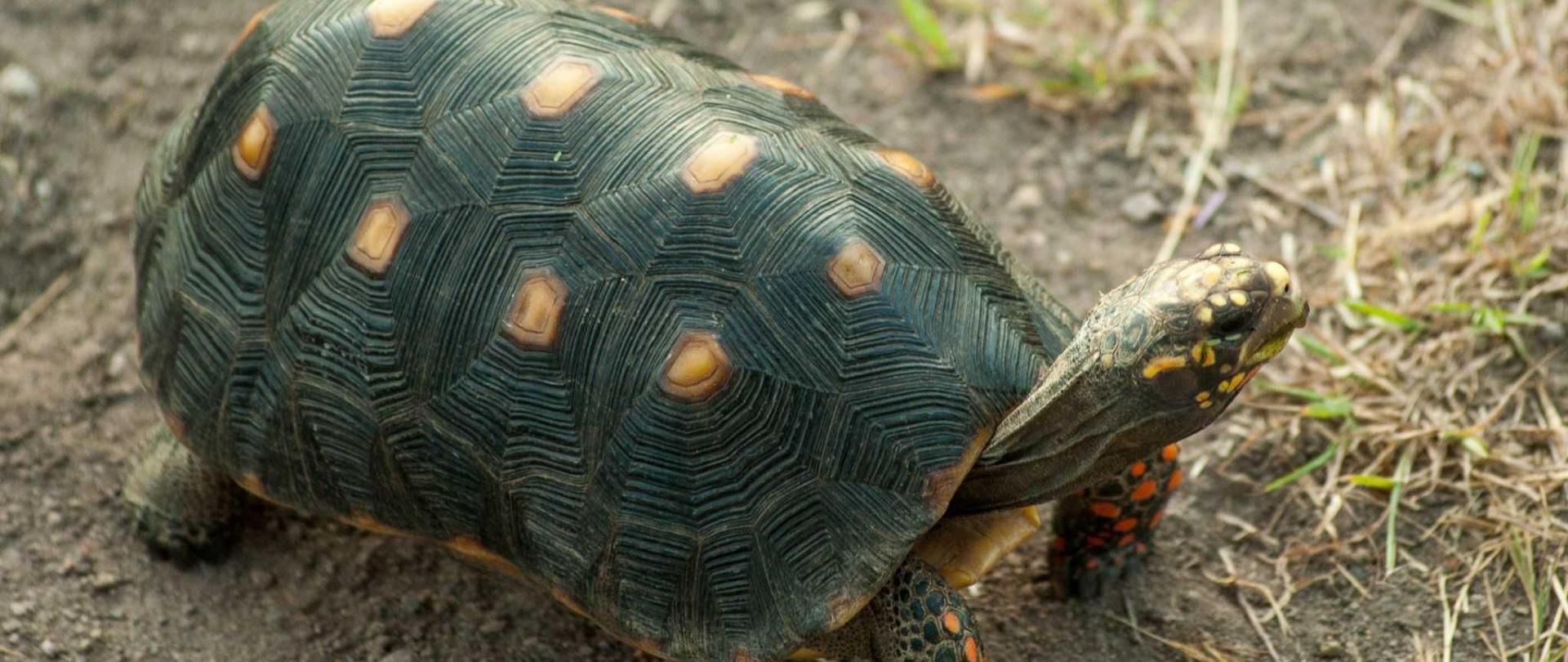 Tortoises wander Saint Joseph's.jpg