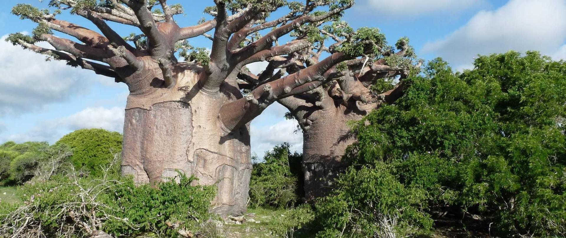 laguna-blu-resort-madagascar-baobab.JPG