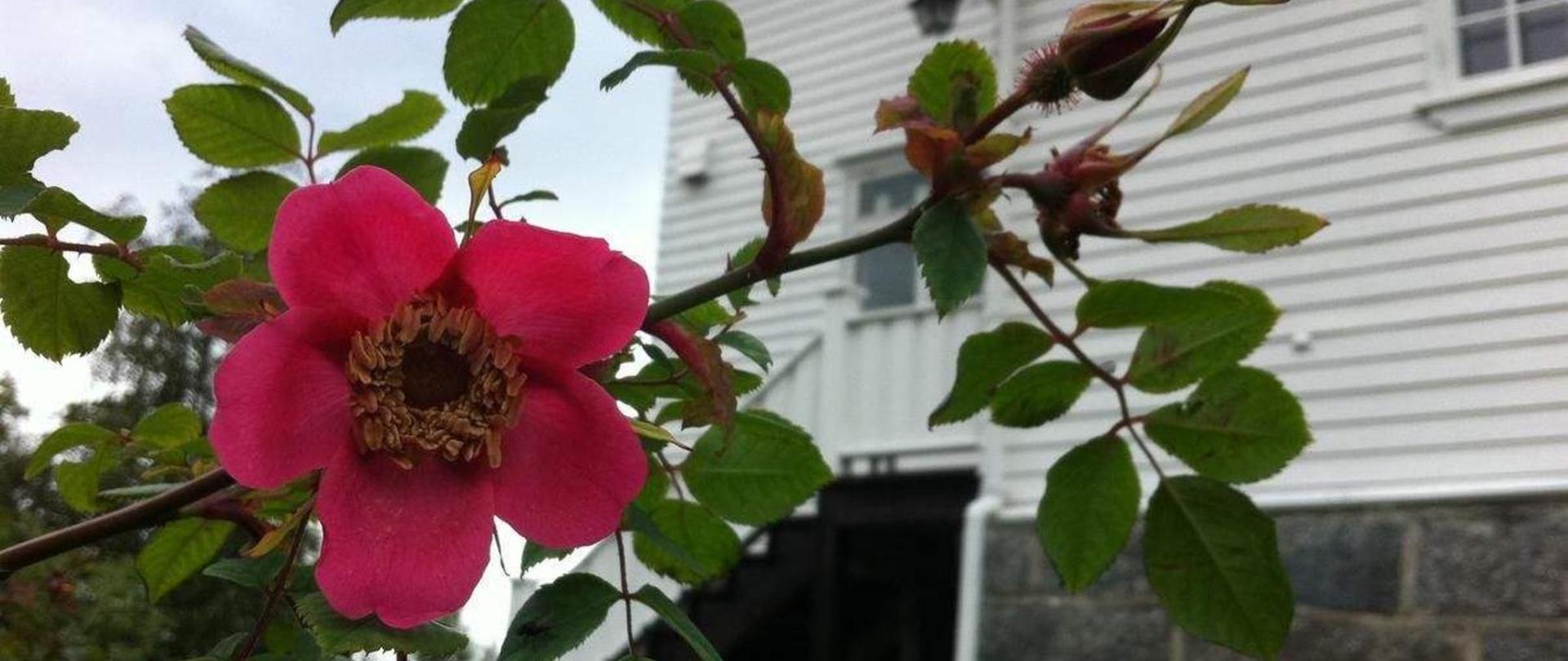 Smell of roses.jpg