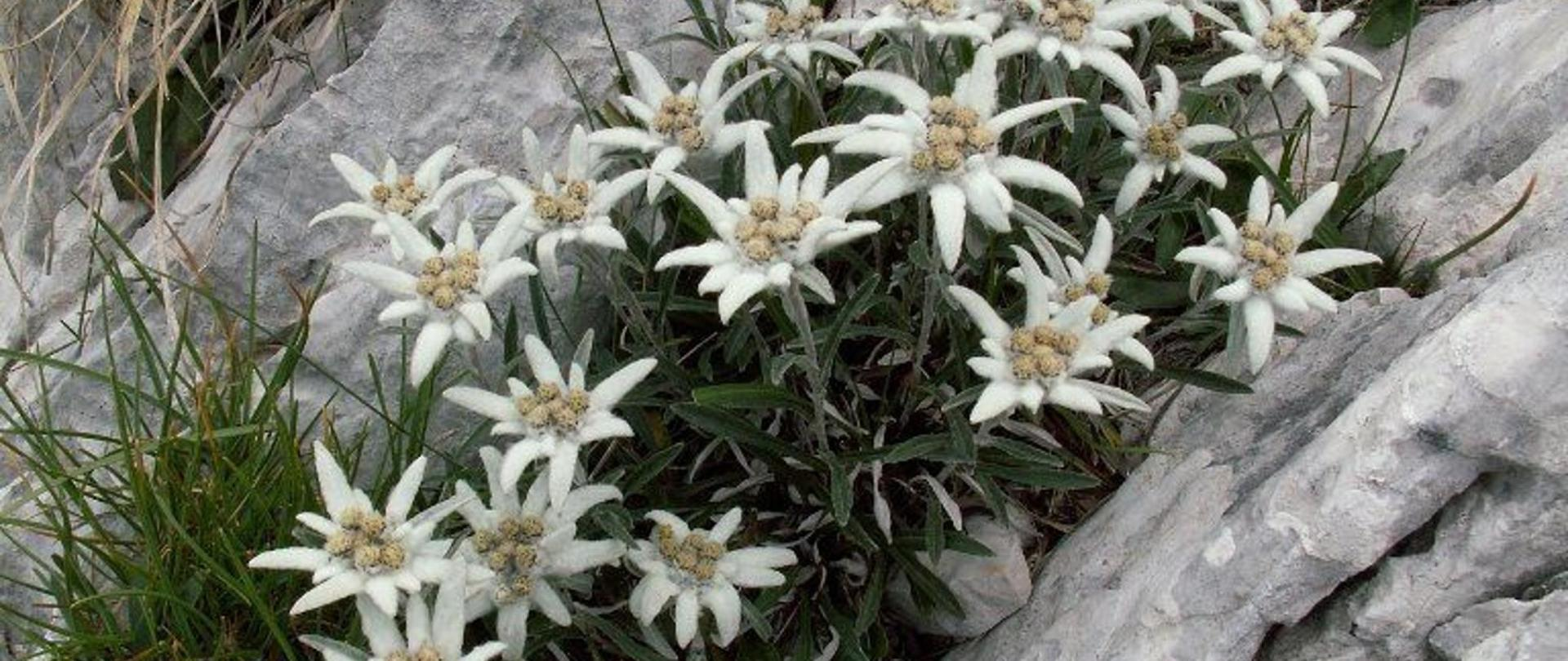 13-042-leontopodium-alpinum-stella-alpina.jpg