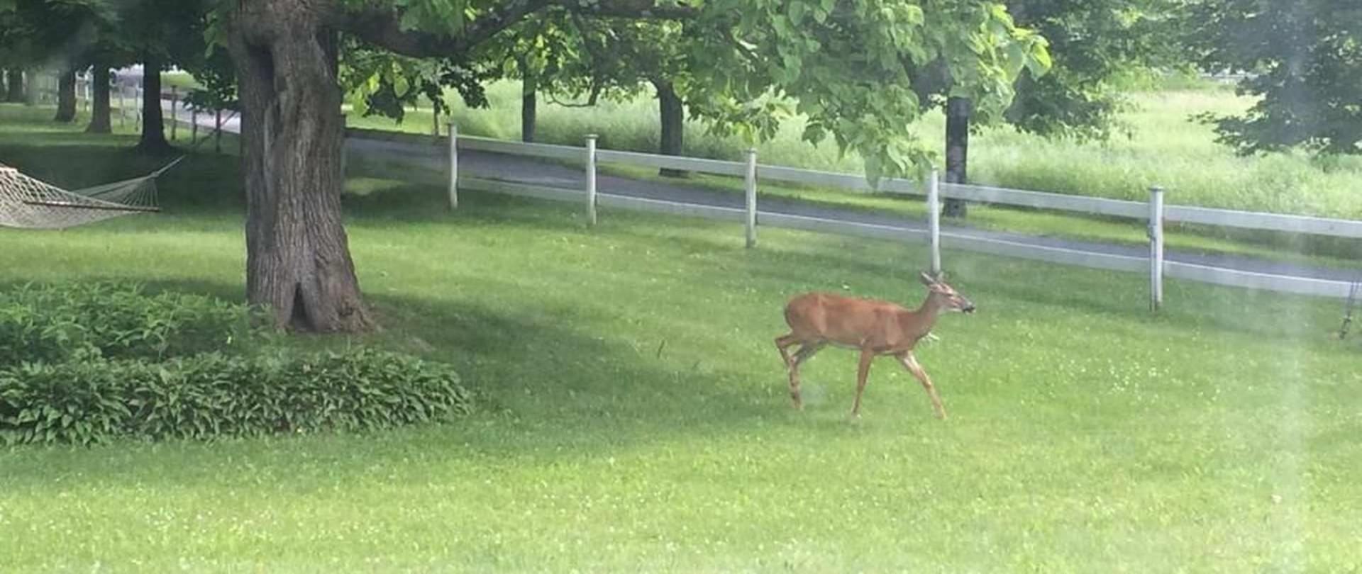 deer-in-front-yard.jpg.1920x810_0_628_20000.jpeg.1920x0.jpeg