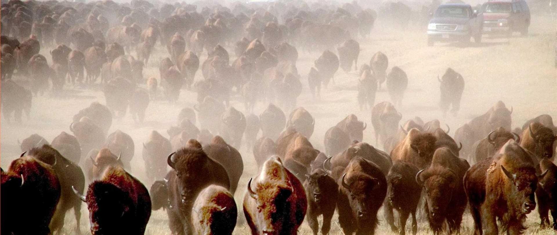 buffalo-roundup-custer-3-1.jpg.1920x810_default.jpeg