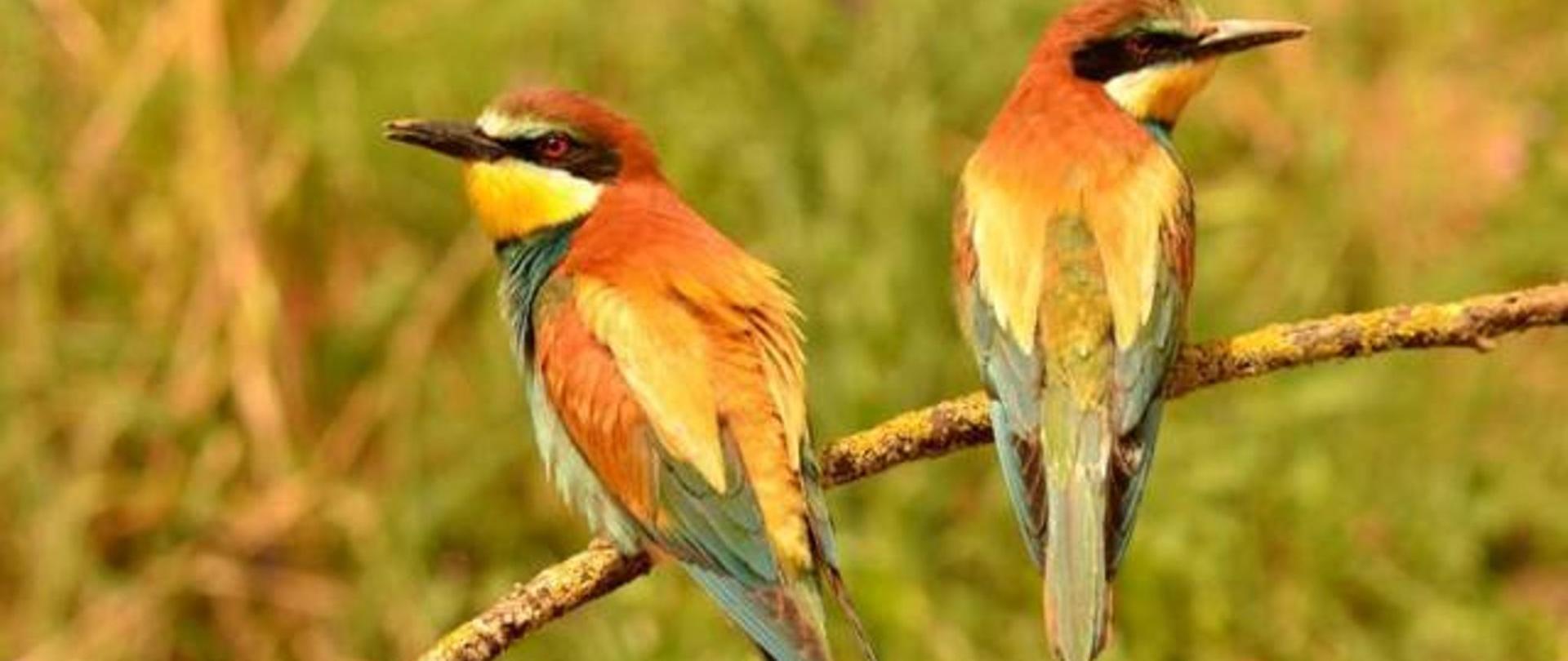 abejaruco-birdwatching-casarurallazafrilla-jerezdeloscaballeros.jpg