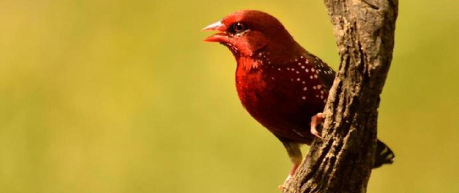bengali.rojo-birdwatching-casarurallazafrilla-jerezdeloscaballeros.jpg